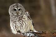 Shelley Myke Prints - Sitting Pretty Barred Owl Print by Inspired Nature Photography By Shelley Myke