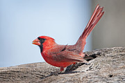 Male Northern Cardinal Posters - Sitting Pretty Poster by Bonnie Barry