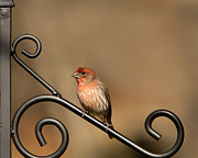 Carpodacus Mexicanus Photo Posters - Sitting Pretty Red House Finch Poster by Kathy Clark