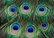 Peacock Photo Metal Prints - Six Eyes Metal Print by Sabrina L Ryan