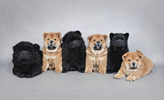 Chow Prints - Six little Chow chow  puppies portrait Print by Waldek Dabrowski