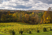 Six Mile Creek Vineyard Print by Michele Steffey