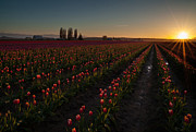 Skagit Framed Prints - Skagit Dusk Tulip Fields Framed Print by Mike Reid