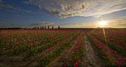 Mount Vernon Posters - Skagit Tulip Fields Sunset Poster by Mike Reid