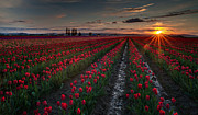 Tulip Photos - Skagit Tulip Sunstar Field by Mike Reid