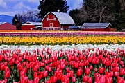 Beautiful Tulips Framed Prints - Skagit Valley Framed Print by Benjamin Yeager