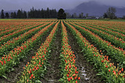 Mark Kiver - Skagit Valley Tulip Field