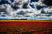 Brian Xavier - Skagit Valley Tulips