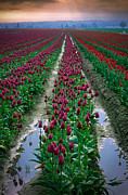 Agronomy Photo Prints - Skagit Valley Tulips Print by Inge Johnsson