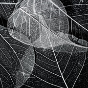 Leaf Art Posters - Skeletal Leaf Montage No.1 Poster by Bonnie Bruno