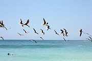 Florida Beaches Posters - Skimmers and Swimmers Poster by Carol Groenen