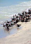 Beach Wildlife Posters - Skimmers on the Beach Poster by Carol Groenen