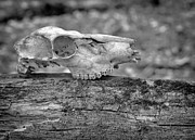 Skull Photos - Skull and Tree by Jeffrey Platt