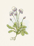 Skullcap Prints - Skullcap  Scutellaria Lateriflora Print by Nick Alan