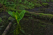 North Vancouver Photo Posters - Skunk Weed Cabbage in the Pond Poster by Paul W Sharpe Aka Wizard of Wonders