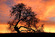 Oak Tree Art - Sky On Fire by Priya Ghose