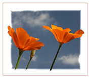 California Poppy Framed Prints - Skyward #2 Framed Print by Tom Griffithe