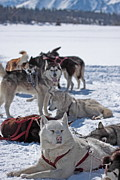 Huskies Prints - Sled dogs Print by Duncan  Selby