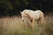 Paso Fino Horse Photos - Sleeping Beauty by Stephanie Moon