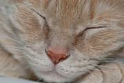 Looking At Camera Metal Prints - Sleeping Cat Face Closeup Metal Print by Amy Cicconi