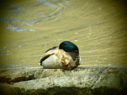 Drake Art - Sleeping Drake Mallard by Thomas Young