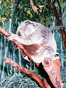 Koala Bear Art - Sleeping Koala Bear by Belinda Lee