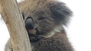 Koala Bear Art - Sleeping Koala by Sally-Anne Samson