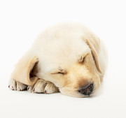 Sleeping Labrador Puppy Print by Johan Swanepoel