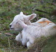 Elaine Hillson - Sleeping Lambs