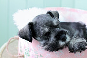 Small Basket Framed Prints - Sleeping Mini Schnauzer Framed Print by Stephanie Frey