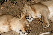 Zoo Pyrography Prints - Sleeping Power Print by Valia Bradshaw