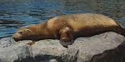 Angela Doelling AD DESIGN Photo and PhotoArt - Sleeping Sea Lion