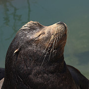 Bob and Jan Shriner - Sleeping Sea Lion