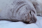 Flux Prints - Sleeping Seal Print by FireFlux Studios