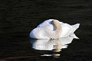 Jim Nelson - Sleeping Swan
