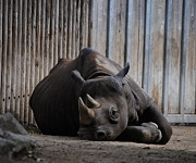 Rhinocerus Art - Sleepy  by Angella  Day
