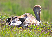 Sleeping Baby Animals Posters - Sleepy Baby Sandhill Crane Poster by Carol Groenen