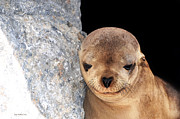 Susan Wiedmann Art - Sleepy Baby Sea Lion by Susan Wiedmann