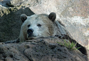 Suzanne Gaff - Sleepy Grizzly