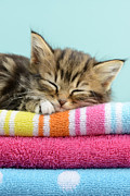 Kittens Digital Art Posters - Sleepy Kitten Poster by Greg Cuddiford