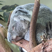 Koala Art - Sleepy Koala 3 by Cathy Lindsey