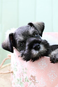 Small Basket Framed Prints - Sleepy Mini Schnauzer Framed Print by Stephanie Frey