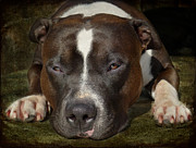 Dog Photos - Sleepy Pit Bull by Larry Marshall