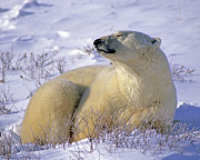 Polar Bear (ursus Maritimus) Prints - Sleepy Polar Bear Print by Tony Beck
