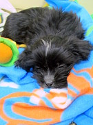 Puppy Photo Originals - Sleepy Puppy by Suzanne DeGeorge