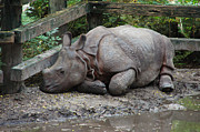 Wildlife Photos - Sleepy Rhino by Aimee L Maher