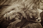 Rosamond Prints - Sleepy Print by Roni Delmonico