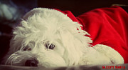 Doggy Cards Prints - Sleepy Santa Print by Melanie Lankford Photography