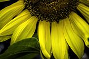 Judy Hall-Folde - Slice of a Sunflower