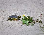 Slider And Sorrel In Sand Print by Al Powell Photography USA